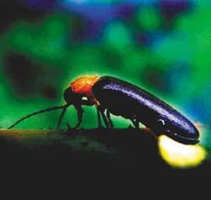 不过,事实上,它也就是甲虫的一种.